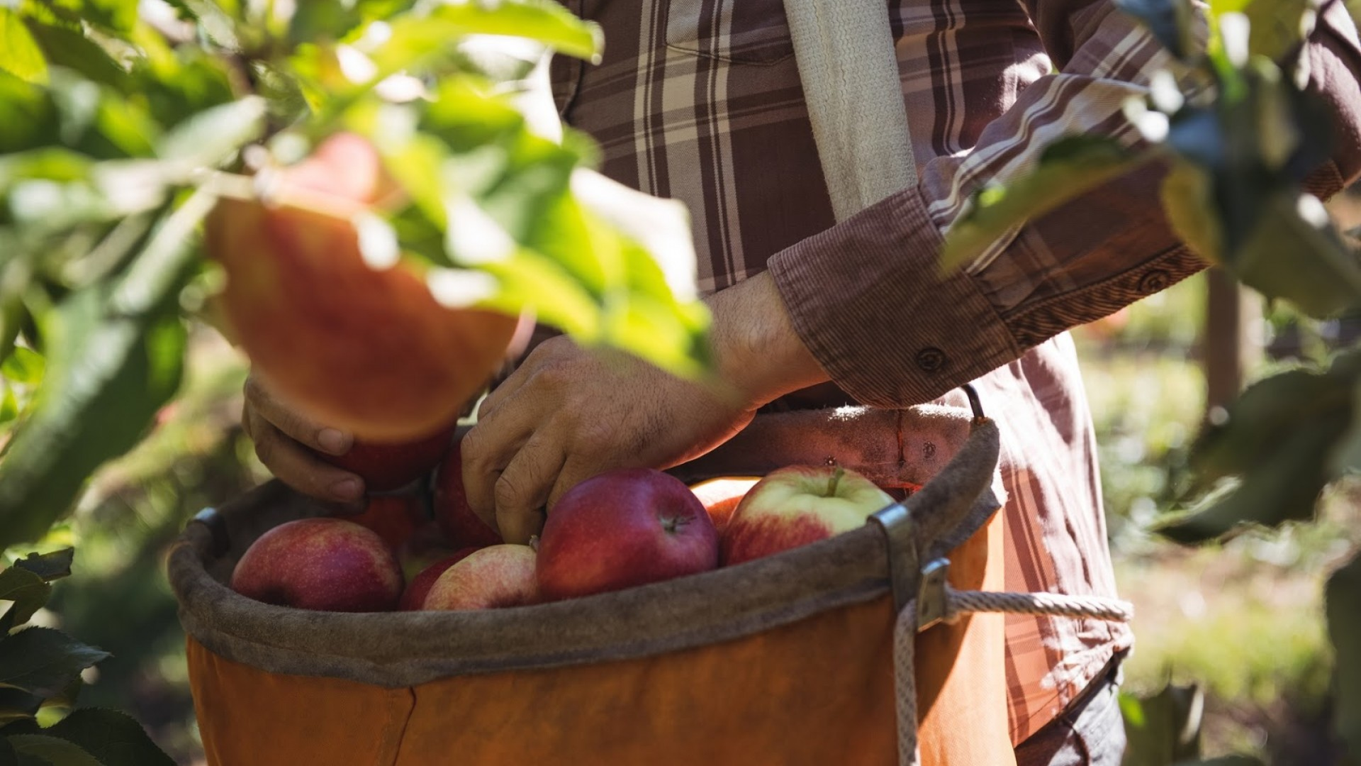 A farmworker collecting apples in an orange basket